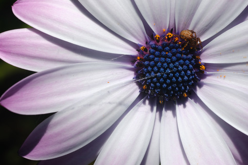 Small spider on the corolla of an African daisy. Flower with white petals and yellow pollen. - MyVideoimage.com