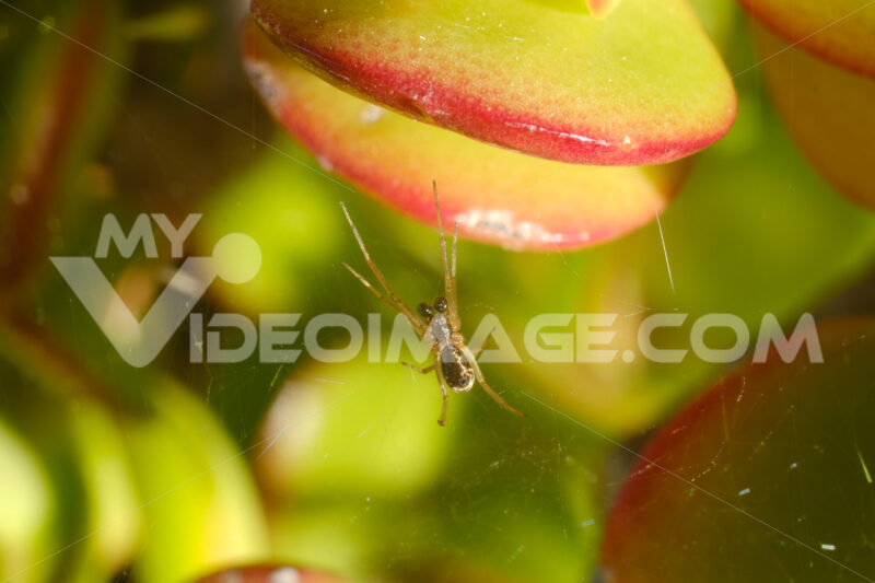 Small spider with spider web on the leaves of the succulent plant. - LEphotoart.com