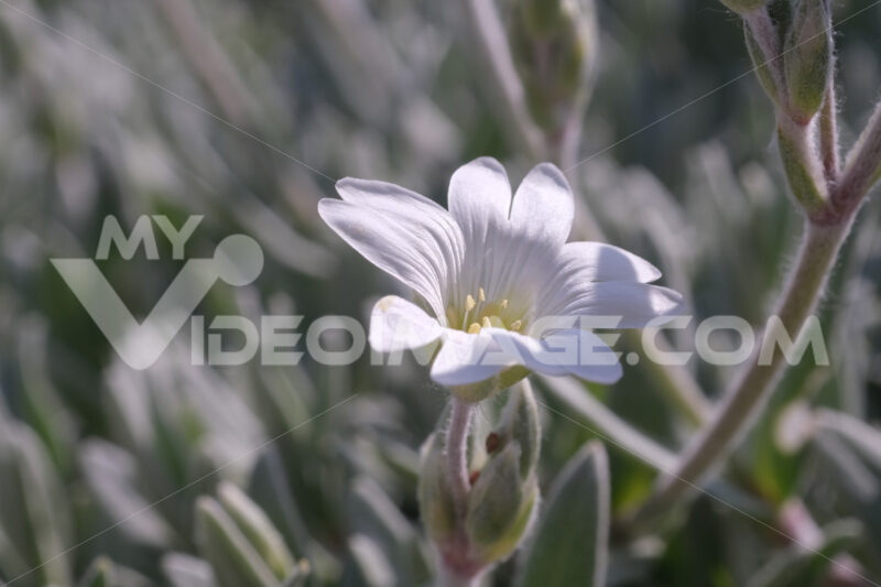 Small white Cerastium flower. Macro Photo of a flowering perennial plant. - MyVideoimage.com