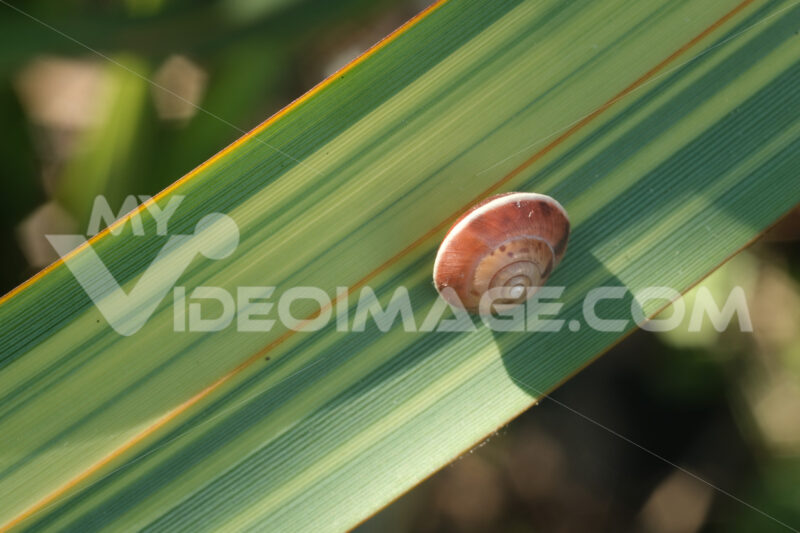 Snail on a green and yellow lanceolate leaf. Formium (Phormium) variegated. Detail macro. - MyVideoimage.com