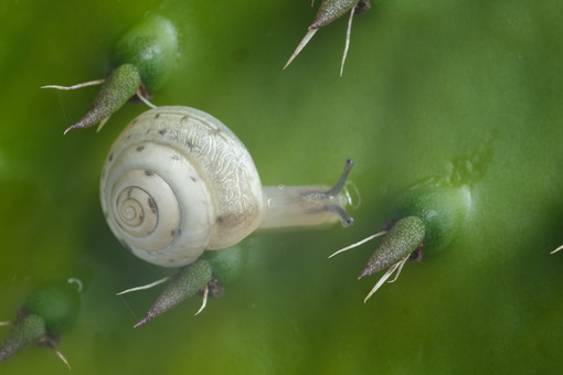 Snail. Snail among the cactus leaf thorns. Stock photos. - MyVideoimage.com | Foto stock & Video footage