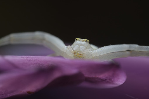Spider close up. Beautiful white spider on a purple flower. Stock photos. - MyVideoimage.com | Foto stock & Video footage