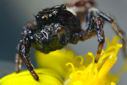 Spider eyes. Brown spider with hairs sitting on a yellow flower. Stock photos. - MyVideoimage.com   Foto stock & Video footage
