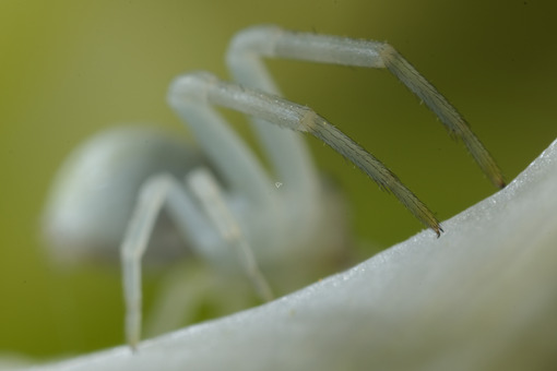 Spider legs. White spider on the petals of a flower. Stock photos. - MyVideoimage.com | Foto stock & Video footage