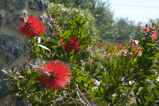 Spighe di fiori rossi. Spikes of red flowers with vegetation in spring in the garden. - MyVideoimage.com | Foto stock & Video footage