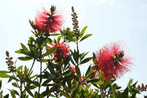 Spikes of red flowers with vegetation in spring in the garden. - MyVideoimage.com