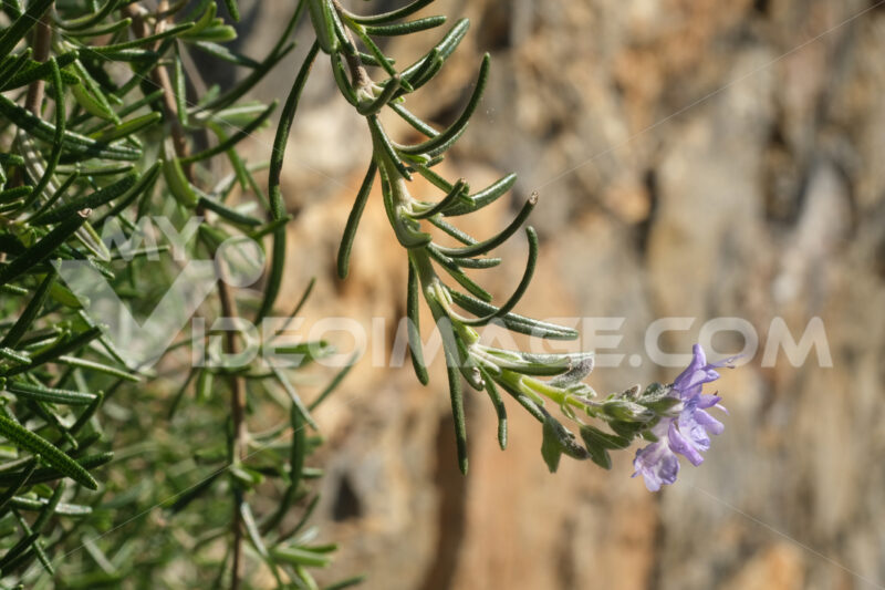 Sprig of rosemary with purple flower. Macro  of spring flowering. Flowers images - LEphotoart.com
