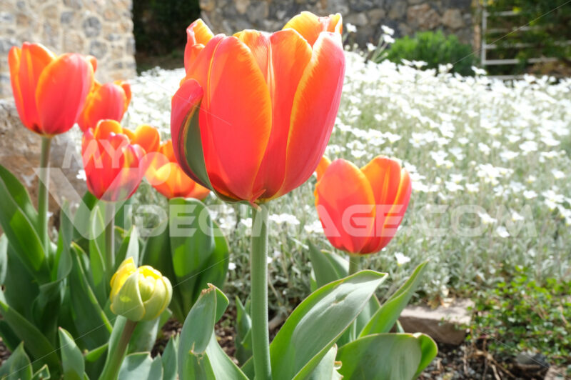 Spring flowering in the Mediterranean garden. Orange tulips, cerastium flowers. - MyVideoimage.com