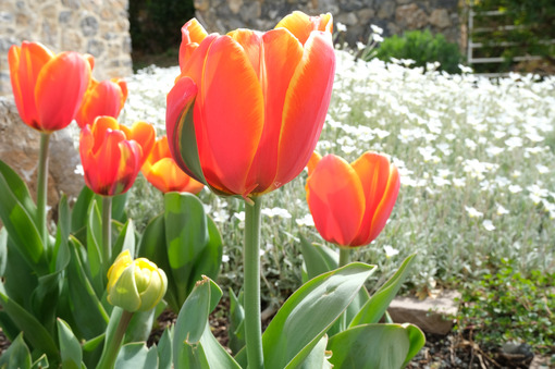Spring flowering in the Mediterranean garden. Orange tulips, cerastium flowers. - MyVideoimage.com