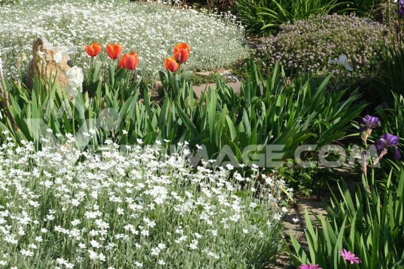 Spring flowering in the Mediterranean garden. Orange tulips, cerastium flowers and irises. - MyVideoimage.com