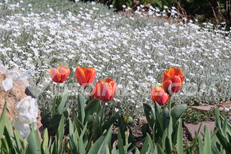 Spring flowering in the Mediterranean garden. Orange tulips, cerastium flowers and irises. - MyVideoimage.com