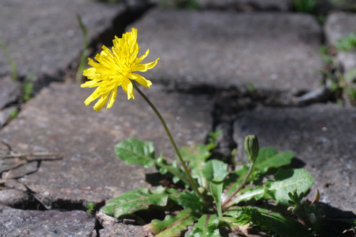 Spring flowering of dandelion. Edible plant. Dandelion plant with yellow flower grown a paving of  porphyry. - LEphotoart.com