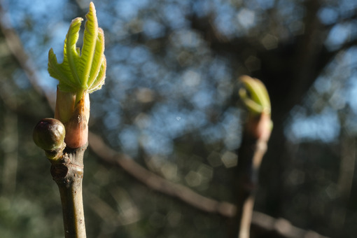 Sprouts of fig plant in spring. Small fig and tiny leaf sprouting from the branches. - MyVideoimage.com