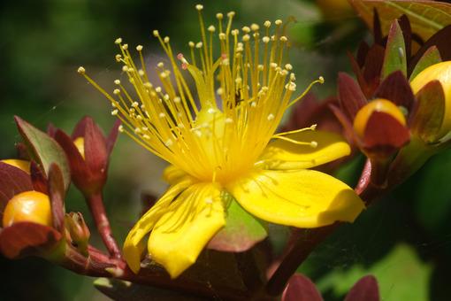 St. John's wort. Yellow flower of St. John's wort. Stock photos. - MyVideoimage.com | Foto stock & Video footage