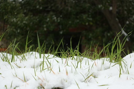 Strands of green grass sprout from the white snow fallen in Liguria, near the sea. - MyVideoimage.com