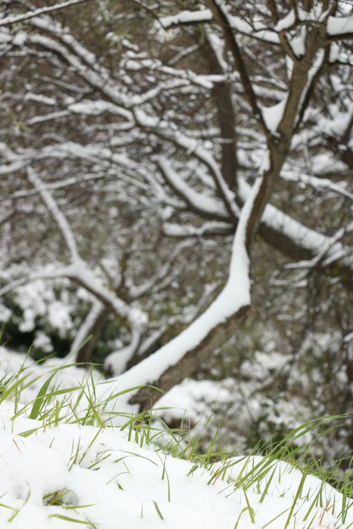Strands of green grass sprout from the white snow fallen in Liguria, near the sea. In the background a tree without leaves. - MyVideoimage.com