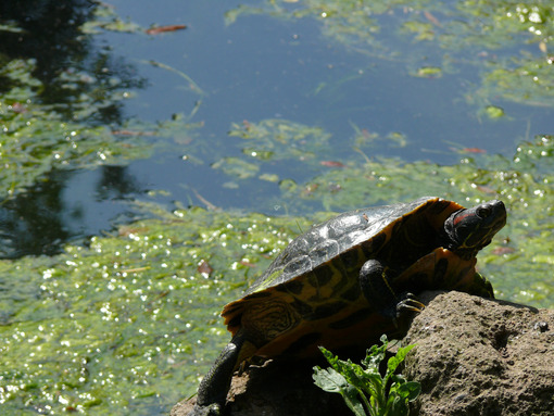 Sun turtle on a stone in a water pond. - MyVideoimage.com