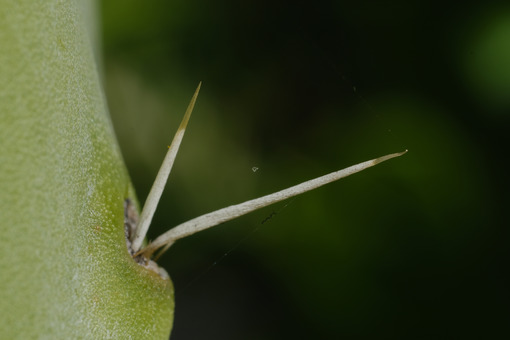 Thorns of a succulent on the spatula leaf of a prickly pear. - LEphotoart.com