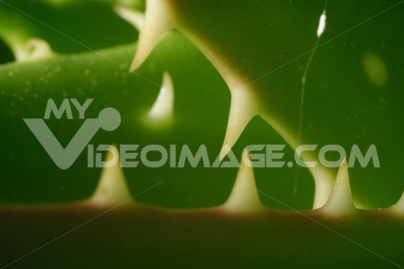 Thorns of succulent leaves resemble shark teeth. Macro photo of aloe vera. - LEphotoart.com