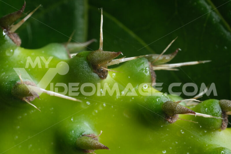 Thorns. Pointed thorns of a cactus plant. Stock photos. - MyVideoimage.com | Foto stock & Video footage