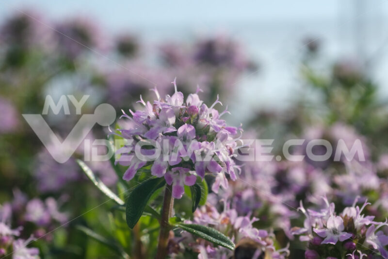 Thyme flower. Macro video of thyme flowers. - MyVideoimage.com