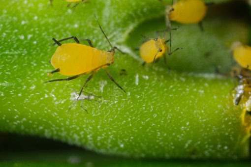 Tiny insect. Yellow aphids suck the sap from a leaf. Stock photos. - MyVideoimage.com | Foto stock & Video footage