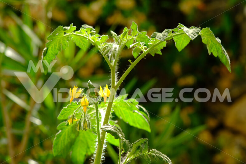 Tomato plant. Tomato plant move with the wind. Stock photos. - MyVideoimage.com | Foto stock & Video footage