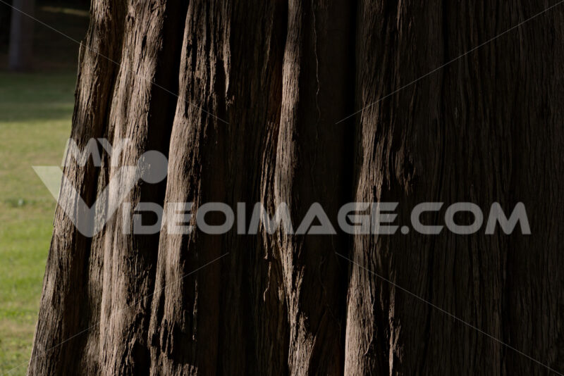Trunk of tree. Reggia di Caserta, Italy. 10/27/2018. Monumental tree within the park. Detail of the trunk - MyVideoimage.com | Foto stock & Video footage