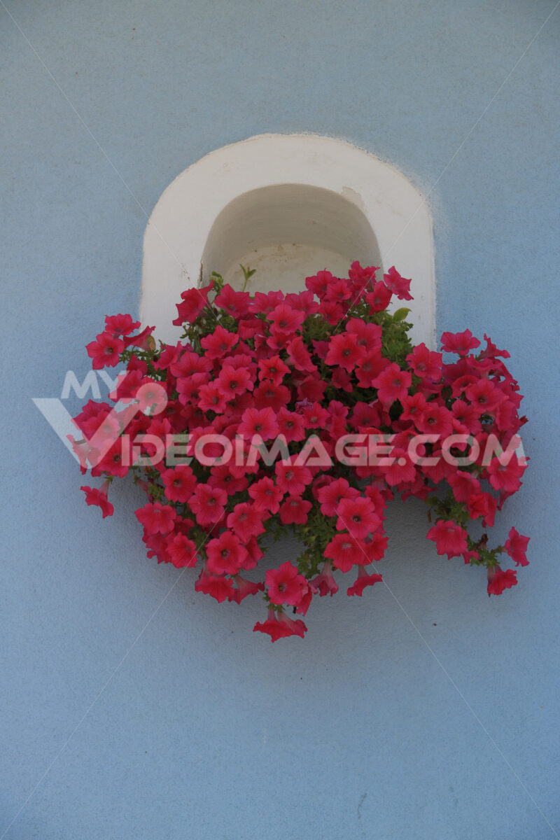 Vaso di fiori. Vase of red flowers on Mediterranean house facade. - MyVideoimage.com | Foto stock & Video footage