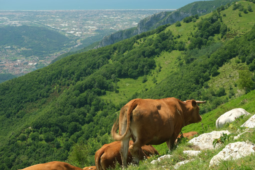 Versilia and Apuane. Grazing cows in the mountains of Tuscany. Stock photos. - MyVideoimage.com | Foto stock & Video footage