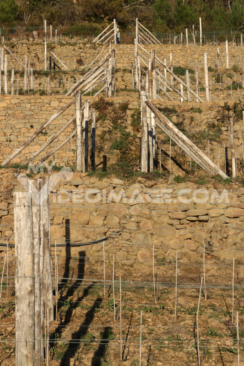 Vine cultivation on the hills with dry stone walls in the Cinque Terre. - MyVideimage.com