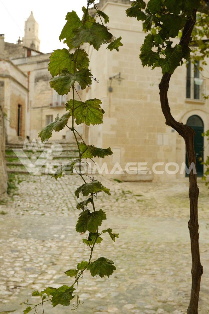 Vine shoot with leaves in a street of the ancient city of Matera. - LEphotoart.com