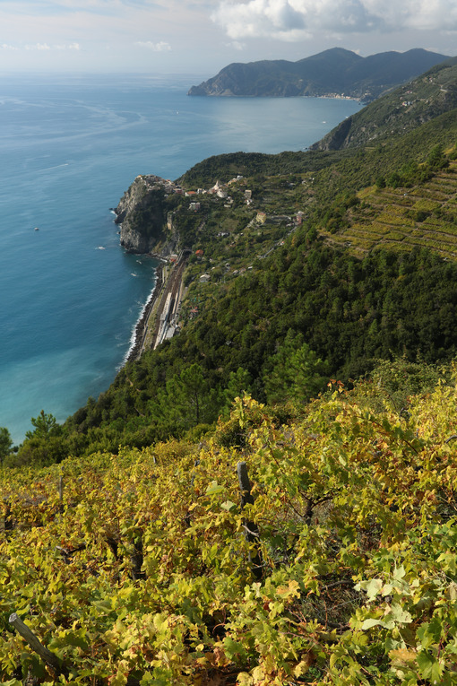 Vineyard cultivation in the Cinque Terre. In the background the village of Corniglia perched on the rock overlooking the sea. - LEphotoart.com