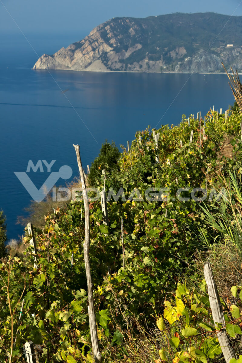 Vineyard in the Cinque Terre. Panorama of the  vineyards of the Shiacchetrà vineyard in Liguria. - MyVideimage.com