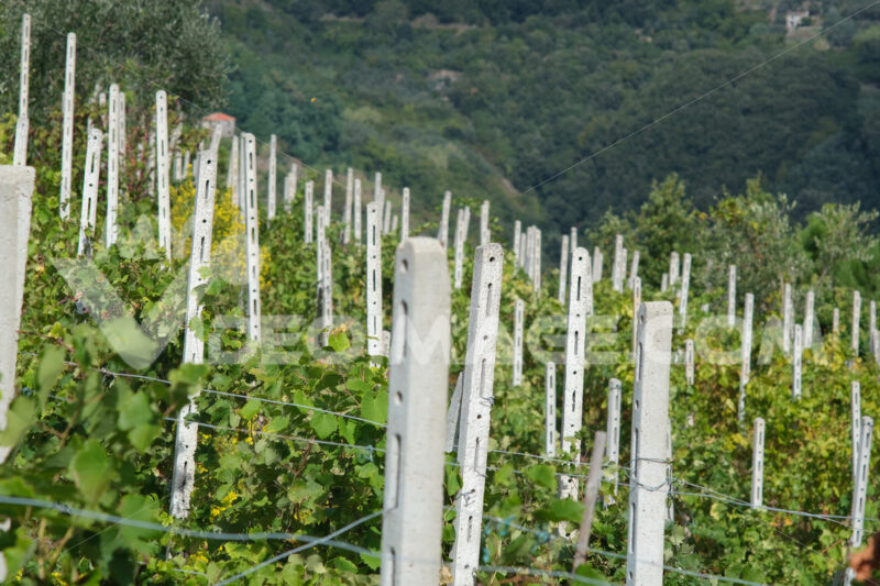 Vineyard of grapes sciacchetrà on the hills of the Cinque Terre. In the background the rocks overlooking the sea near Vernazza. - LEphotoart.com