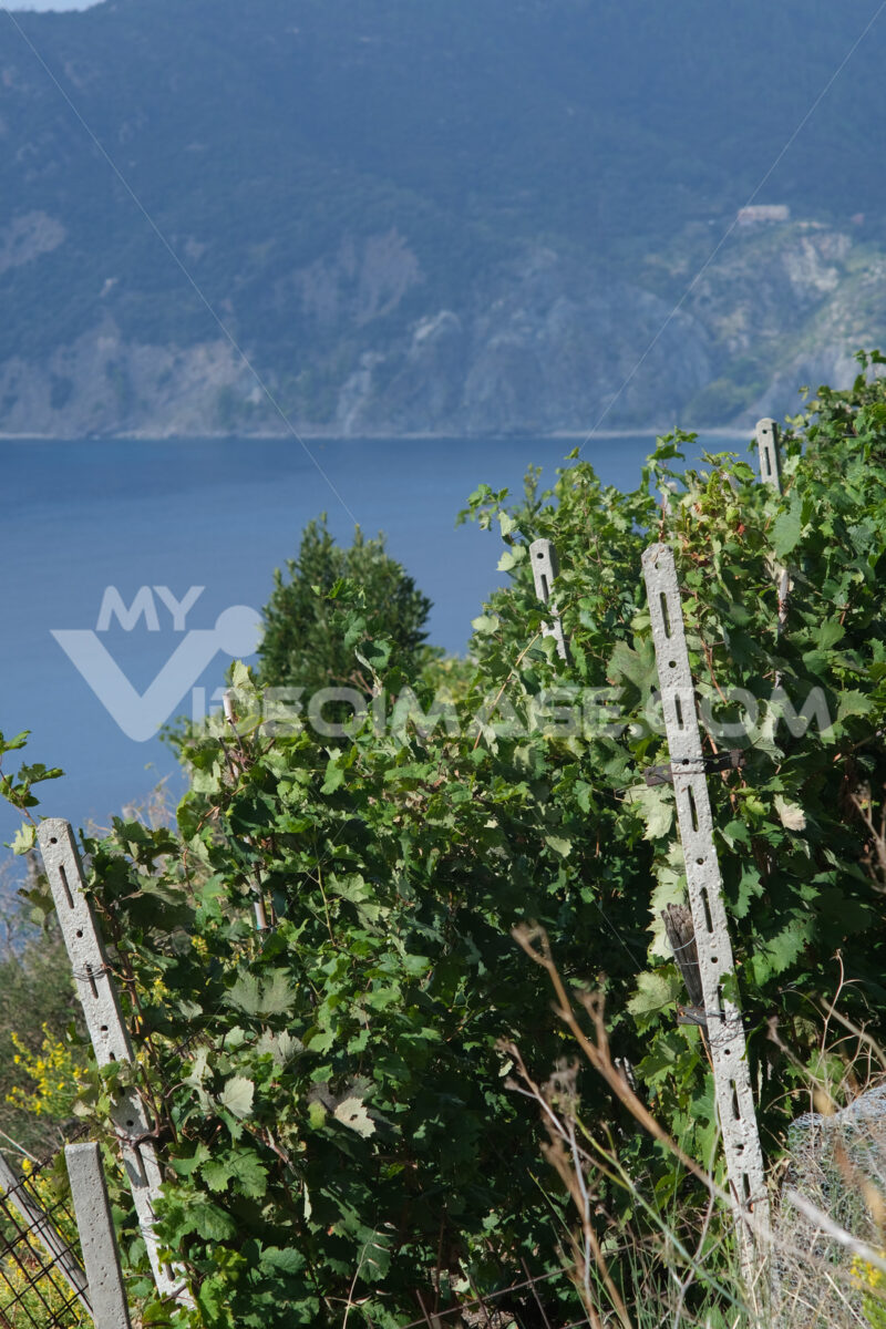 Vineyard of grapes sciacchetrà on the hills of the Cinque Terre. In the background the rocks overlooking the sea near Vernazza. - MyVideoimage.com