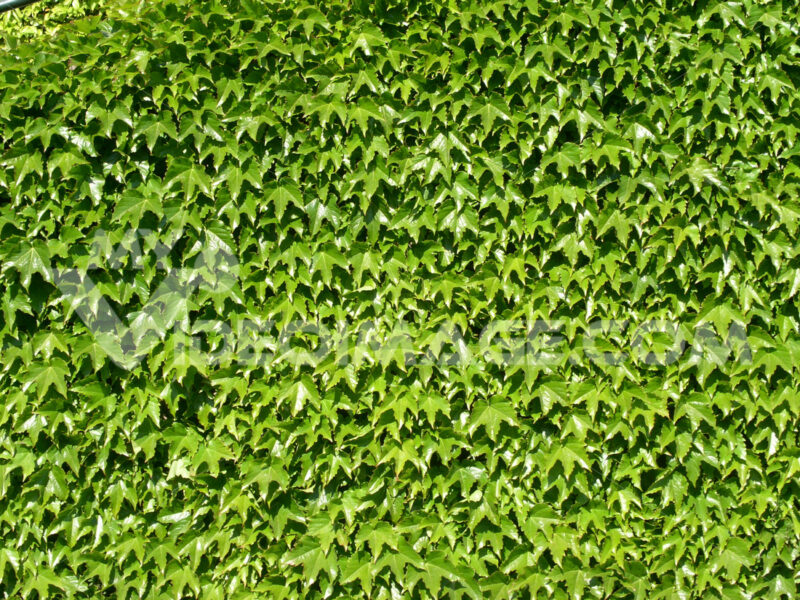 Wall lined with green Canadian vine leaves. - MyVideoimage.com