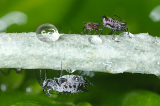 Water drops and plant parasites. Gray aphids of the stem of a plant. Stock photos. - MyVideoimage.com | Foto stock & Video footage