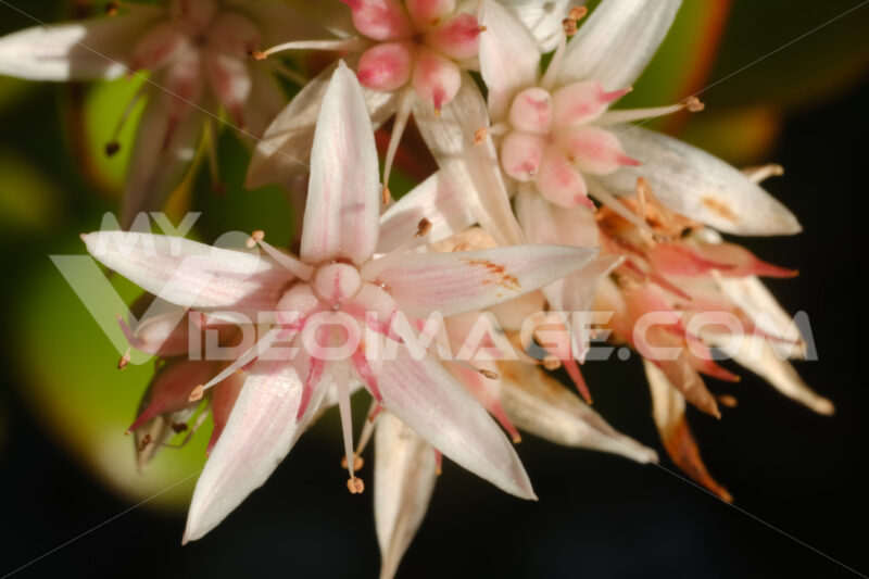 White and pink flowers of the succulent plant Crassula ovata. - MyVideoimage.com