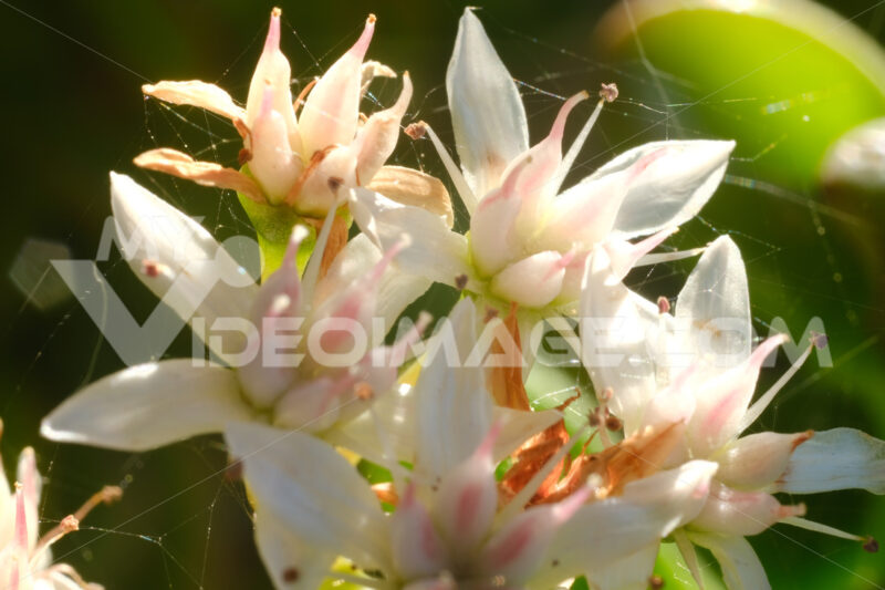 White and pink flowers of the succulent plant Crassula ovata. Fleshy green leaves with a red edge. - MyVideoimage.com