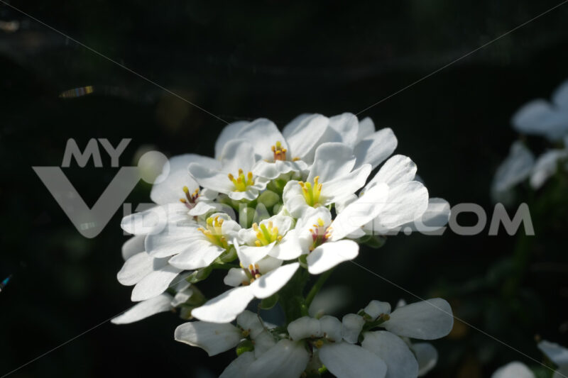 White and yellow Iberis flowers. Macro photography of a composite flower. - MyVideoimage.com