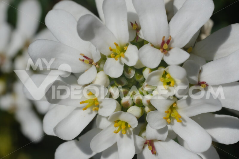 White and yellow Iberis flowers. Macro photography of a composite flower. - LEphotoart.com