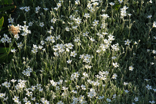 White cerastium flowers seen from above move in the wind. Spring flowering of small flowers. - MyVideoimage.com