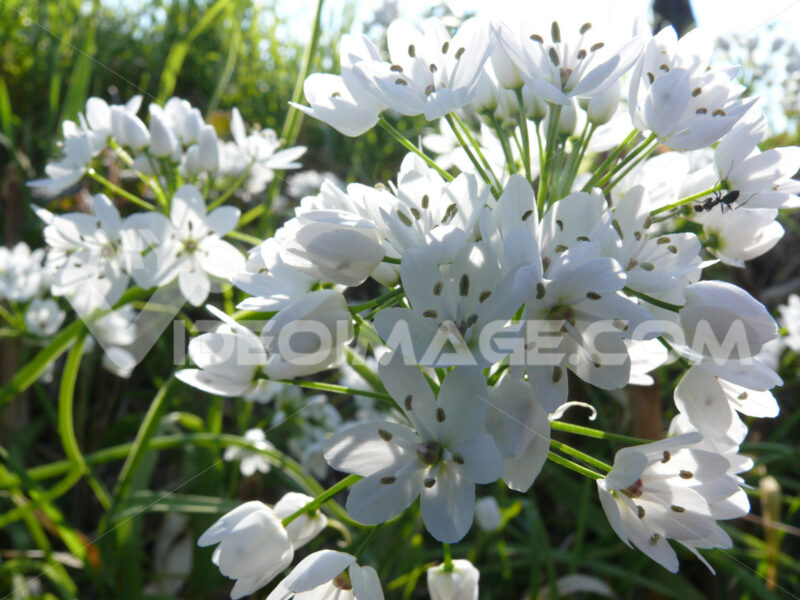 White flowers of wild garlic in a land in the Cinque Terre in Liguria. - MyVideoimage.com