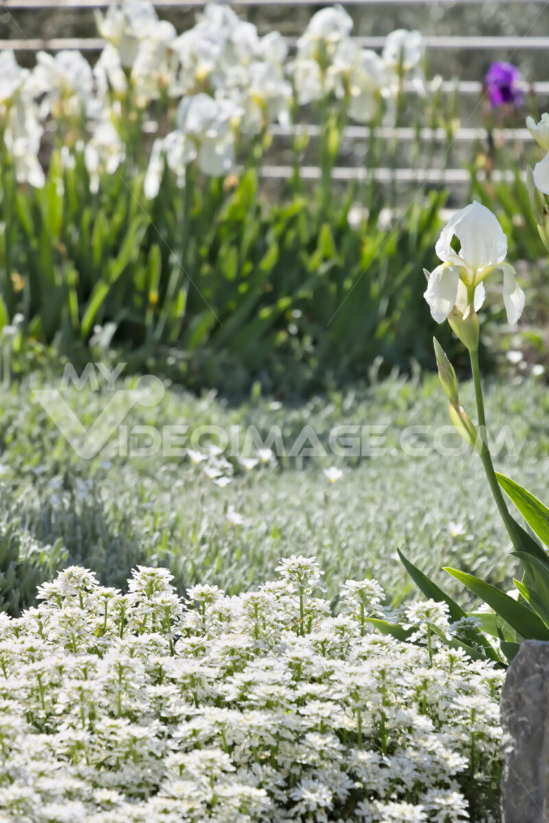 White irises, Iberis and Cerastium. - MyVideoimage.com