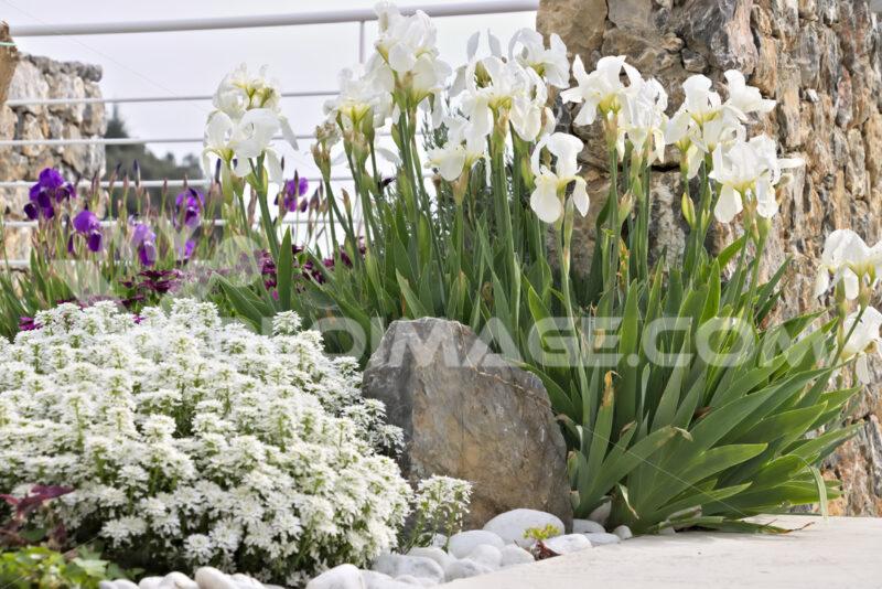 White irises in mediterranean garden. - LEphotoart.com