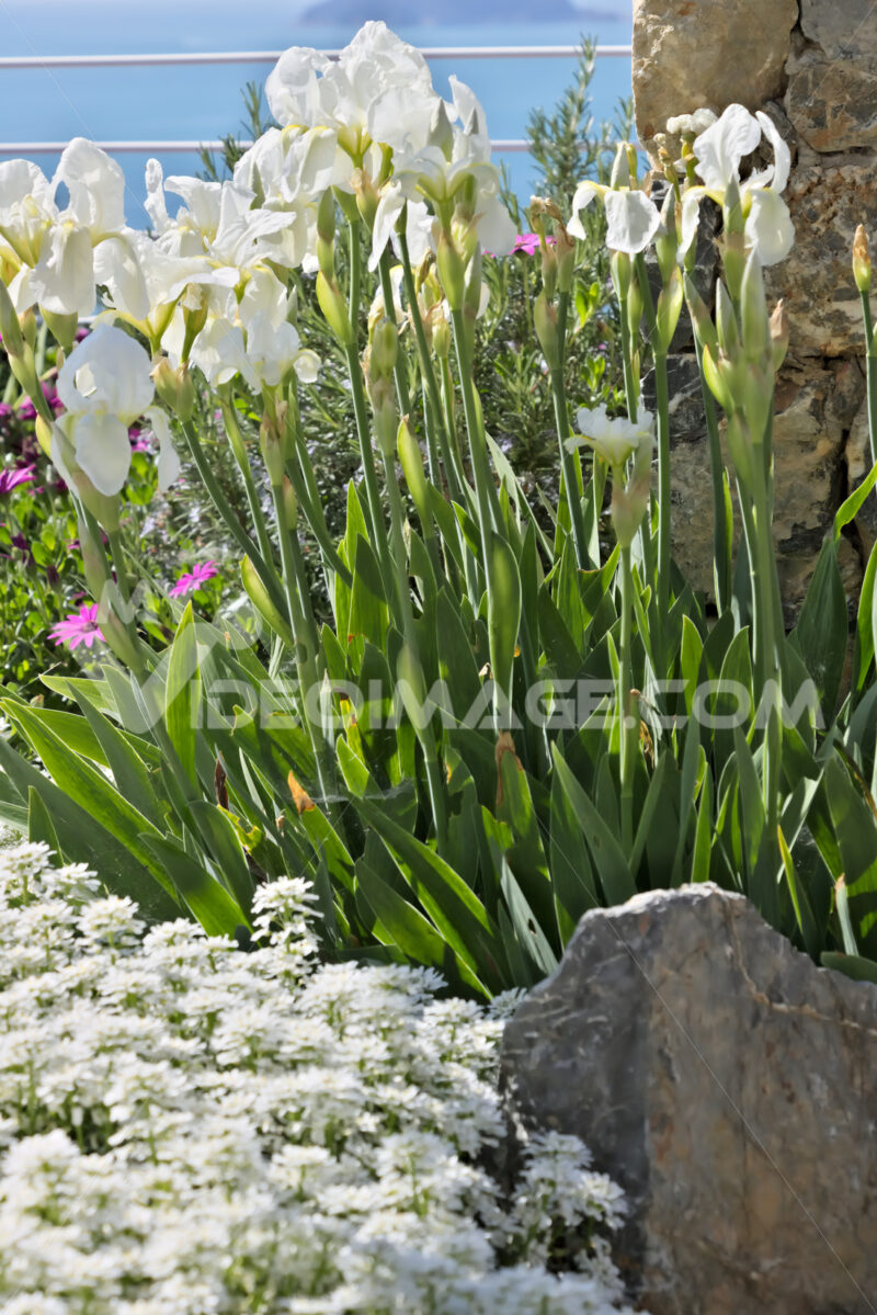 White irises move under the wind. - MyVideoimage.com