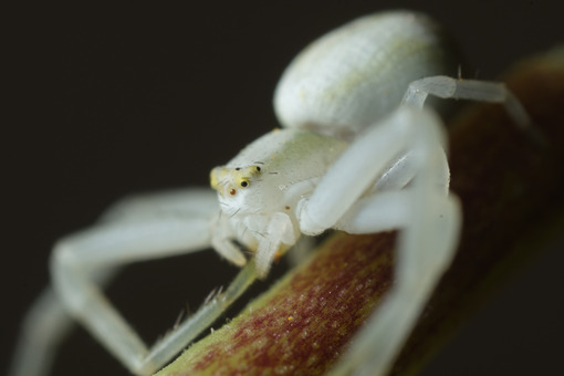 White spider on leaf. White spider on the petiole of a leaf. Stock photos. - MyVideoimage.com | Foto stock & Video footage