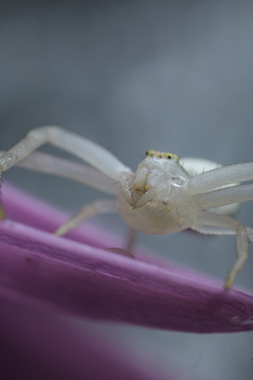 White spider. Beautiful white spider on a purple flower. Stock photos. - MyVideoimage.com | Foto stock & Video footage