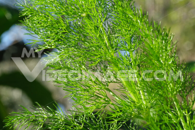 Wild fennel. Edible aromatic plant with fragrant leaves. - MyVideoimage.com
